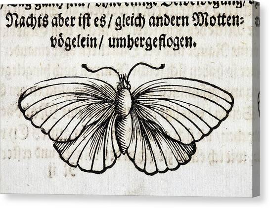 1683 Maria Merian Black Veined White Canvas Print by Paul D Stewart