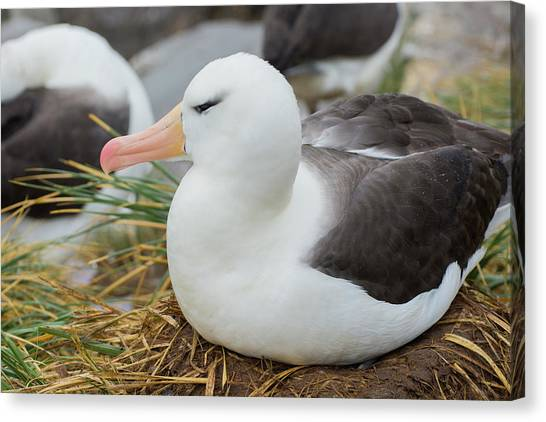 Albatrosses Canvas Print - Falkland Islands by Inger Hogstrom