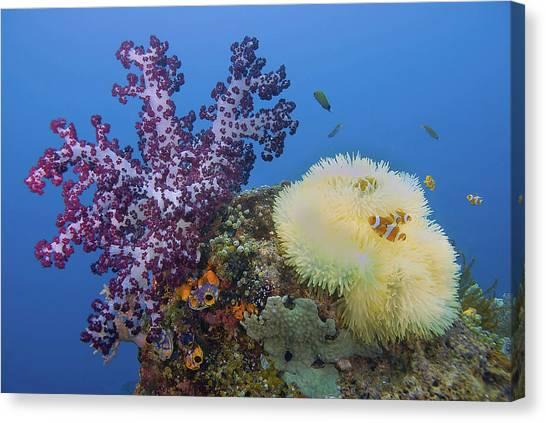 Anemonefish Canvas Print - Indonesia, Papua, Raja Ampat by Jaynes Gallery