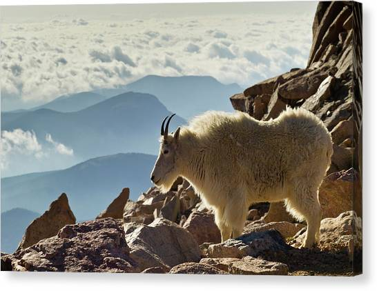 Goats Canvas Print - Usa, Colorado, Mount Evans by Jaynes Gallery