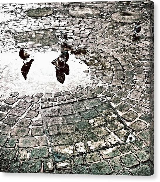 Songbirds Canvas Print - Pigeons In A Puddle by Jason Michael Roust