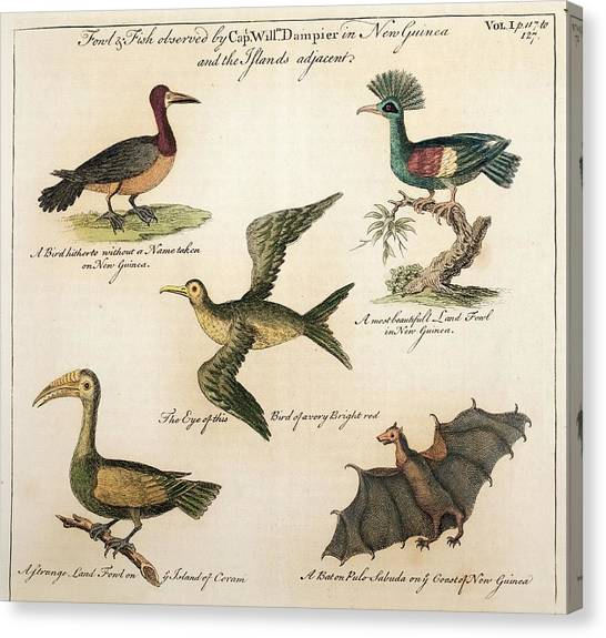 Hornbill Canvas Print - 1735 William Dampier Birds Of The Pacific by Paul D Stewart