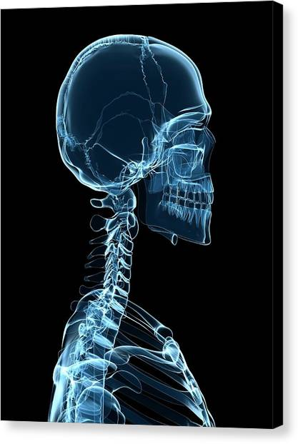Male Skeleton Canvas Print by Sciepro/science Photo Library