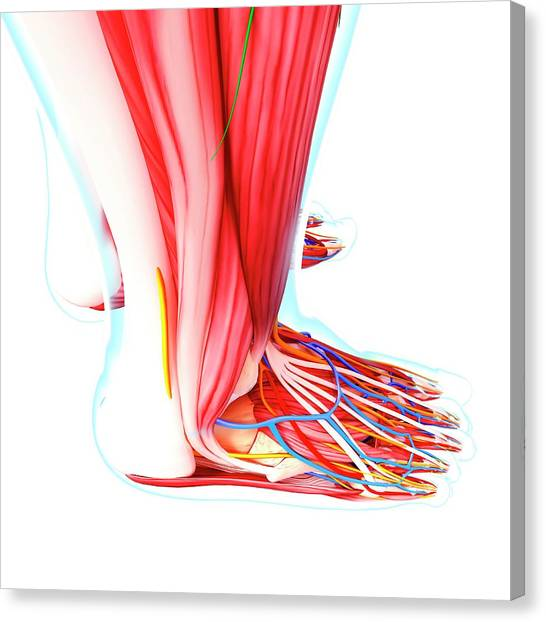 Human Foot Anatomy Canvas Print by Pixologicstudio/science Photo Library