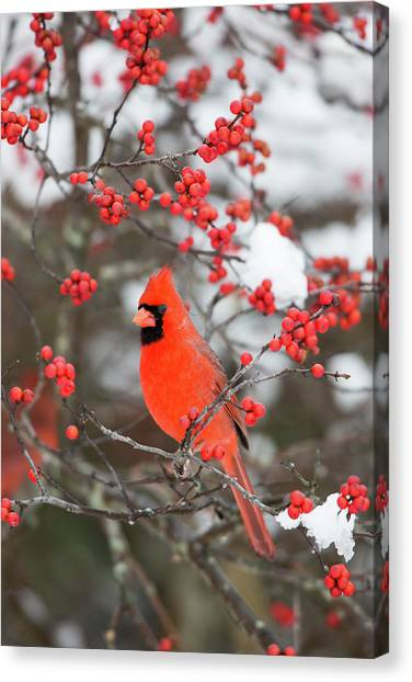 Susan Canvas Print - Northern Cardinal (cardinalis Cardinalis by Richard and Susan Day