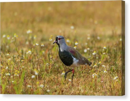 Lapwing Canvas Print - South America, Chile, Patagonia, Torres by Jaynes Gallery