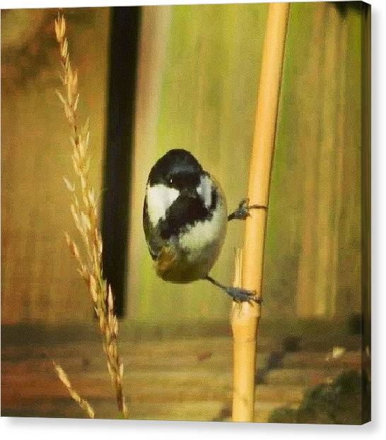 Finches Canvas Print - Instagram Photo by Aaron Eckersley