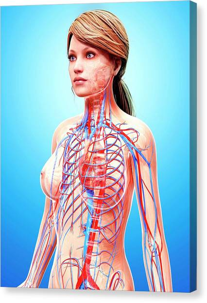 Female Cardiovascular System Canvas Print by Pixologicstudio/science Photo Library