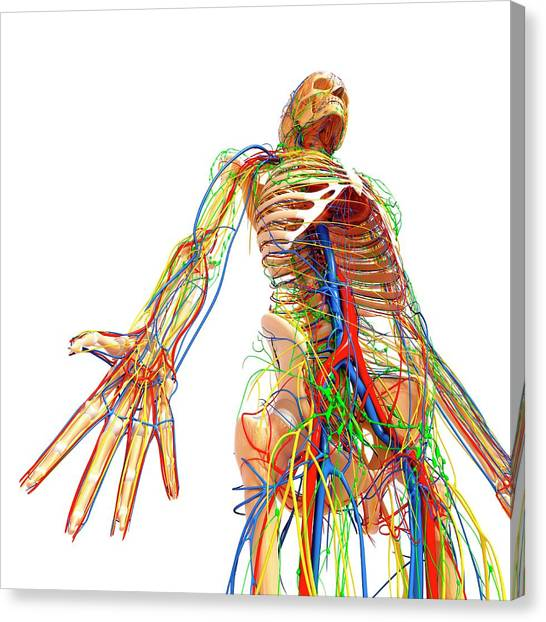 Human Anatomy Canvas Print by Pixologicstudio/science Photo Library
