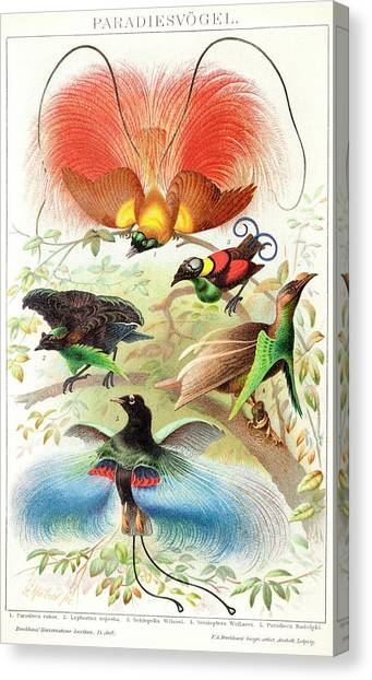 Behaviour Canvas Print - 1894 Bird Of Paradise Wrong Display Poses by Paul D Stewart