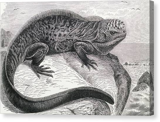 Iguanas Canvas Print - 1896 Engraving Of Galapagos Sea Lizard by George Bernard/science Photo Library
