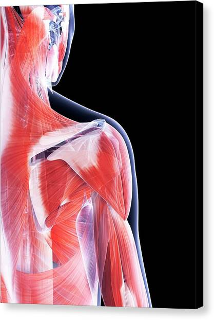 Female Muscular System Canvas Print by Sebastian Kaulitzki