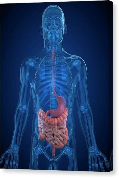 Healthy Digestive System Canvas Print by Sciepro/science Photo Library