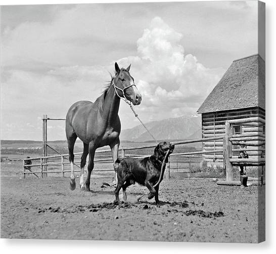 One Direction Canvas Print - 1950s 1960s Black Dog Leading Horse by Vintage Images