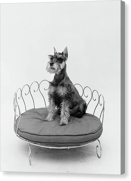 Schnauzers Canvas Print - 1950s Schnauzer Dog Sitting Prettily by Vintage Images