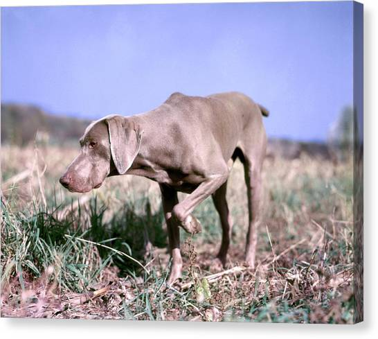Weimaraners Canvas Print - 1950s Weimaraner On Point Hunt Hunting by Animal Images
