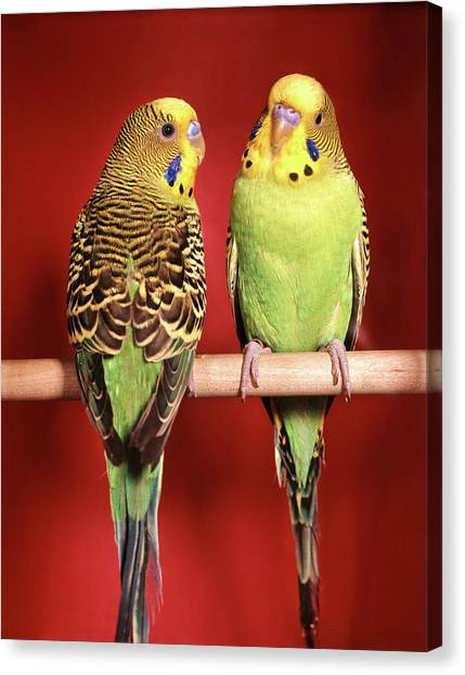 Lovebirds Canvas Print - 1960s Pair Of Two Yellow Green by Vintage Images