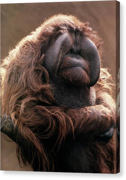 Orangutan Canvas Print - 1970s Mature Adult Orangutan Pongo by Vintage Images