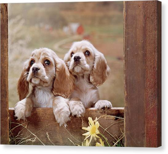 Cocker Spaniels Canvas Print - 1970s Two Cocker Spaniel Puppies by Vintage Images