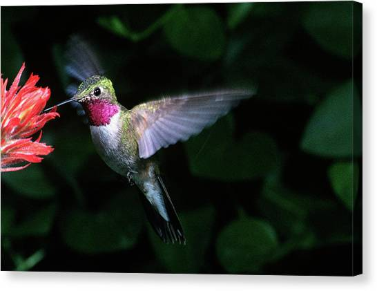 Selasphorus Canvas Print - 1980s Broad-tailed Hummingbird by Animal Images
