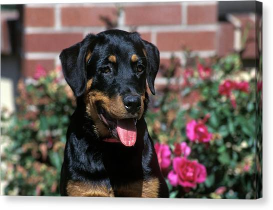 Rottweilers Canvas Print - 1990s Portrait Of Rottweiler Puppy Dog by Vintage Images