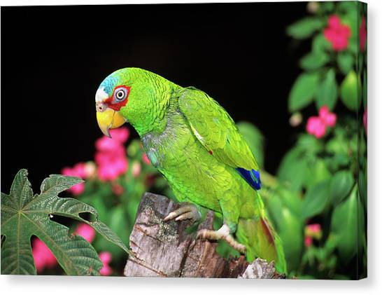 Monteverde Canvas Print - 1990s White-fronted Amazon Parrot by Animal Images