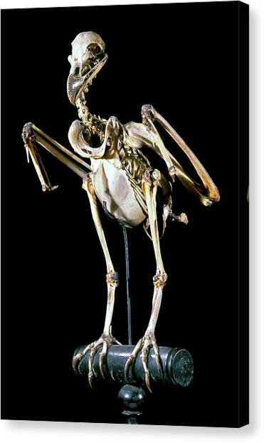 Buzzards Canvas Print - 19th Century Buzzard Skeleton by Patrick Landmann/science Photo Library