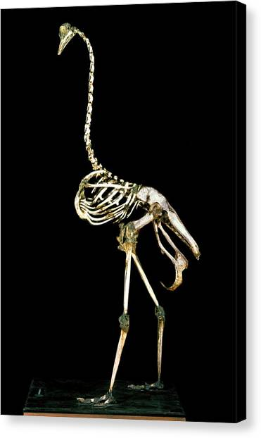 Ostriches Canvas Print - 19th Century Ostrich Skeleton by Patrick Landmann/science Photo Library