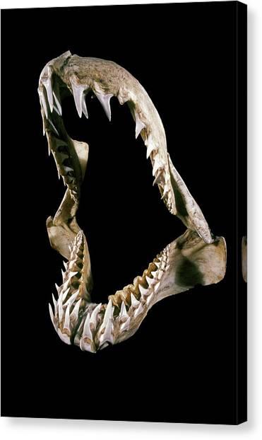 19th Century Shark Jaw Canvas Print by Patrick Landmann/science Photo Library