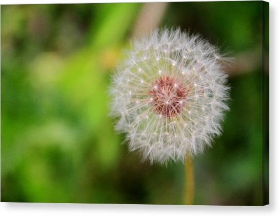 A Dandy Dandelion Canvas Print