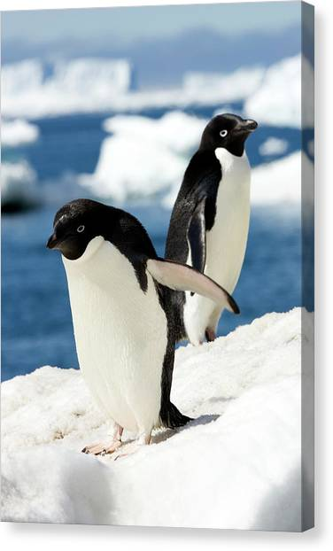Adelie Penguins Canvas Print by William Ervin/science Photo Library