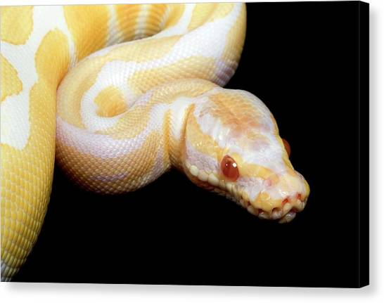 Pythons Canvas Print - Albino Royal Python by Pascal Goetgheluck/science Photo Library
