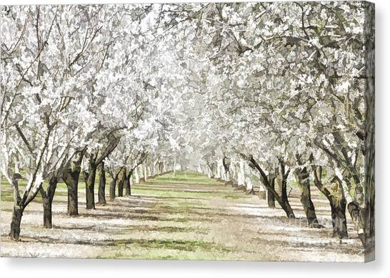 Almond Orchard Canvas Print