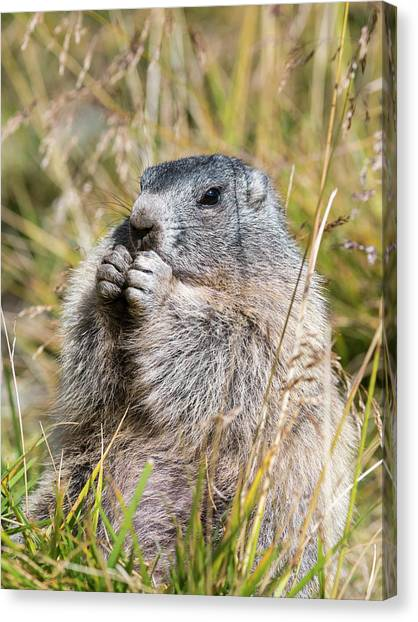Alpine Marmot (marmota Marmota Canvas Print by Martin Zwick