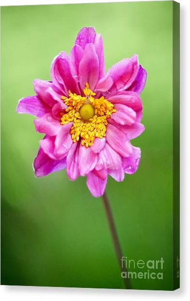 Anemone Flower Canvas Print by Natalie Kinnear