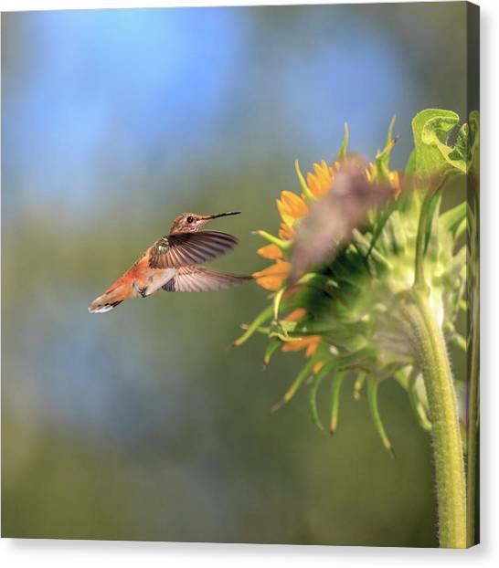 Selasphorus Canvas Print - Anna's Hummingbird by Tom Norring