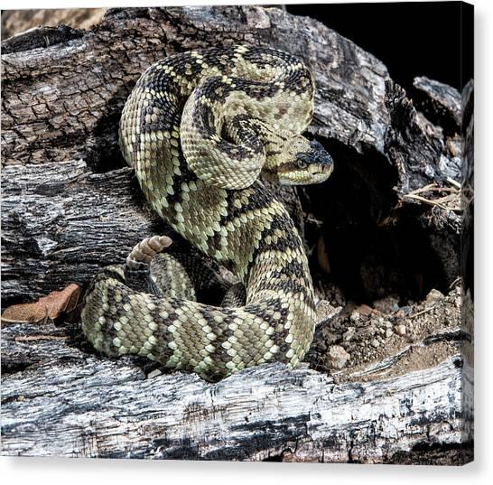 Rattlesnakes Canvas Print - Arizona, Madera Canyon by Jaynes Gallery