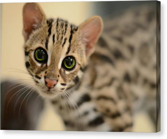 Kittens Canvas Print - Asian Leopard Cub by Laura Fasulo