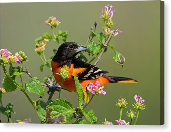 Orioles Canvas Print - Baltimore Oriole (icterus Galbula by Larry Ditto
