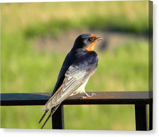 Barn Swallow Canvas Print