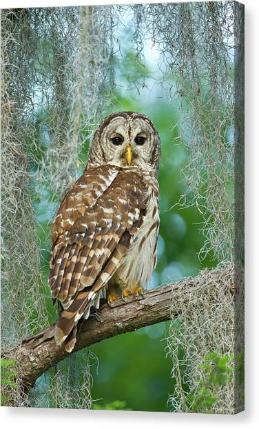 Camouflage Canvas Print - Barred Owl (strix Varia by Larry Ditto