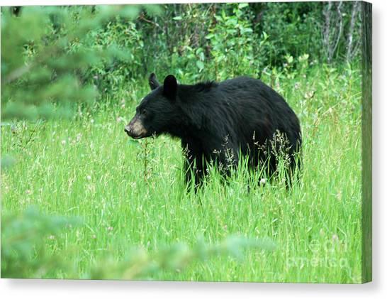 555p Black Bear Canvas Print