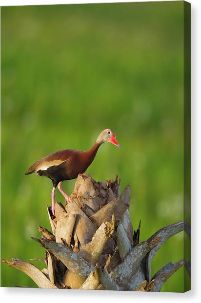 Cavity Canvas Print - Black-bellied Whistling Duck On Cabbage by Maresa Pryor