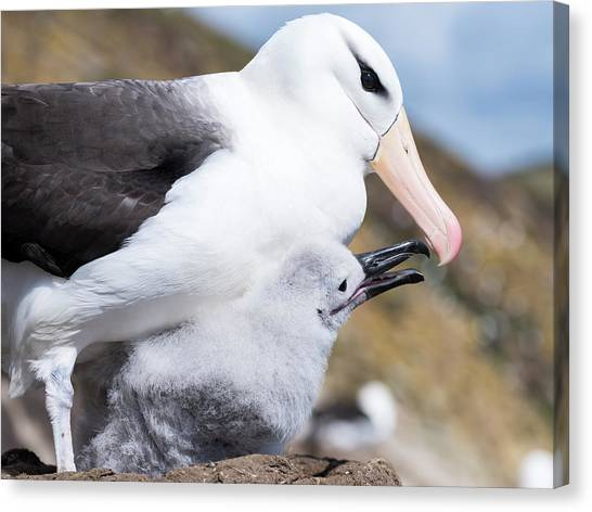 Albatross Canvas Print - Black-browed Albatross (thalassarche by Martin Zwick