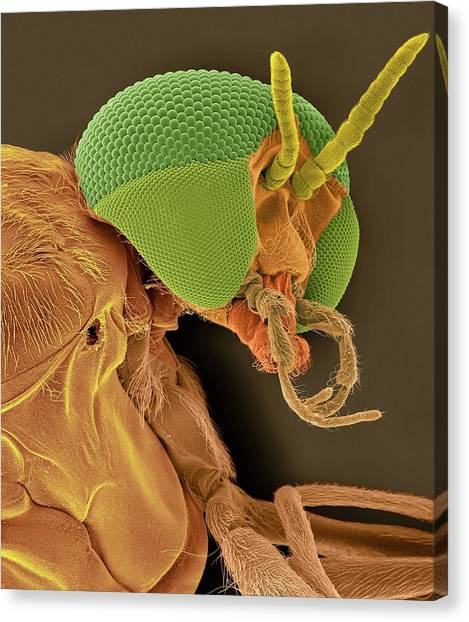 Gnats Canvas Print - Black Fly Adult Female Head by Dennis Kunkel Microscopy/science Photo Library