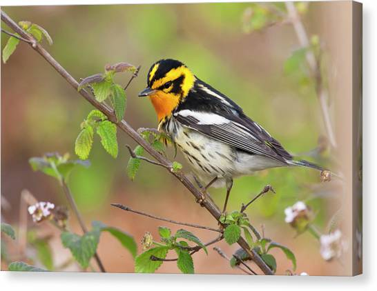 Warbler Canvas Print - Blackburnian Warbler (dendroica Fusca by Larry Ditto