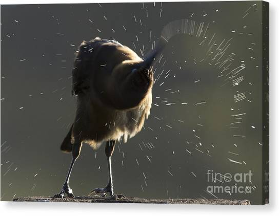 Boat Tailed Grackle Canvas Print