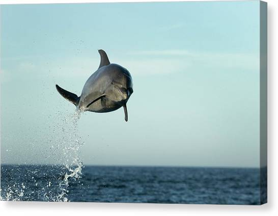 Bottlenose Dolphins Canvas Print - Bottlenose Dolphin Leaping by Christopher Swann/science Photo Library