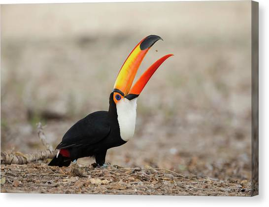 Toucans Canvas Print - Brazil, Mato Grosso, The Pantanal, Toco by Ellen Goff