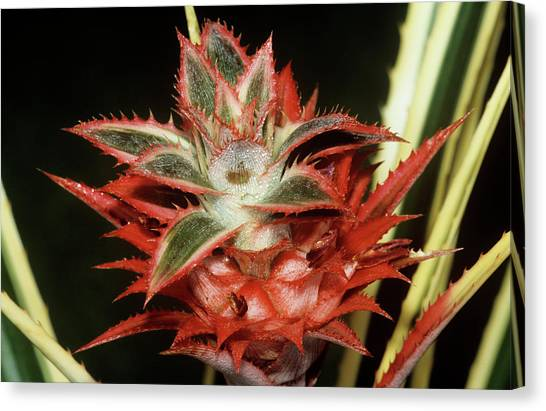 Bromeliad Canvas Print - Bromeliad Flower by M F Merlet/science Photo Library